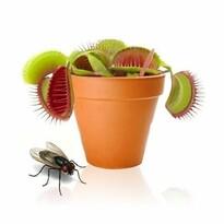 Mäsožravka v kvetináčiku